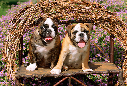 PUP 18 CE0002 01 © Kimball Stock Two Bulldog Puppies Sitting On Twig Bench By Purple Flowers