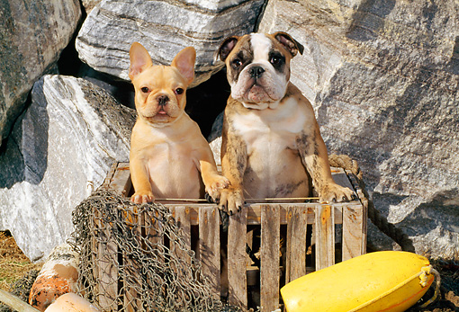 PUP 18 CE0003 01 © Kimball Stock French Bulldog And Bulldog Puppies Standing In Wooden Crate By Rocks