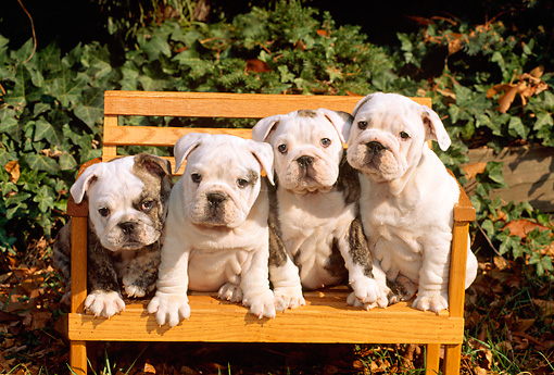 PUP 18 CE0005 01 © Kimball Stock Four Bulldog Puppies Sitting On Bench By Shrubs