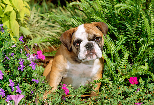 PUP 18 CE0006 01 © Kimball Stock Bulldog Puppy Sitting Among Ferns And Flowers