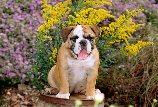 PUP 18 CE0007 01 © Kimball Stock Bulldog Puppy Sitting On Barrel By Flowers