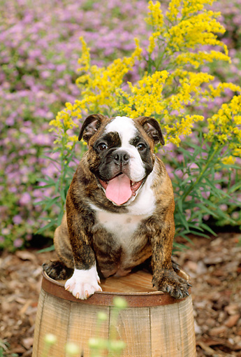 PUP 18 CE0009 01 © Kimball Stock Bulldog Puppy Sitting On Barrel By Flowers