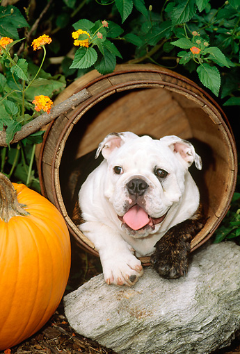 PUP 18 CE0013 01 © Kimball Stock Bulldog Puppy Laying In Barrel By Flowers Rock Pumpkin