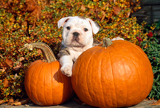 PUP 18 CE0014 01 © Kimball Stock Bulldog Puppy Laying By Pumpkins And Autumn Shrubs