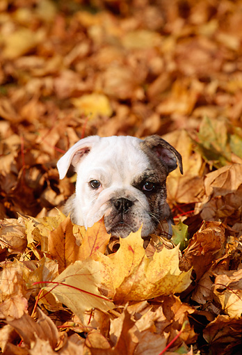 PUP 18 CE0015 01 © Kimball Stock Bulldog Puppy Peeking From Pile Of Autumn Leaves