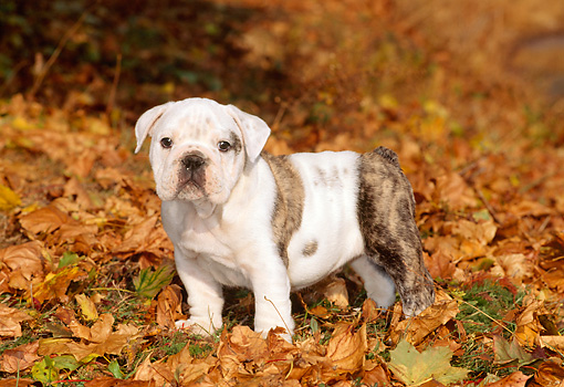 PUP 18 CE0016 01 © Kimball Stock Bulldog Puppy Standing In Field Of Autumn Leaves