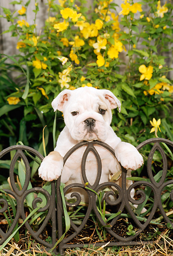 PUP 18 CE0017 01 © Kimball Stock Bulldog Puppy Sitting Behind Iron Fence By Yellow Flowers