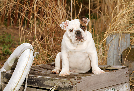 PUP 18 CE0018 01 © Kimball Stock Bulldog Puppy Sitting On Wooden Box By Tall Grass