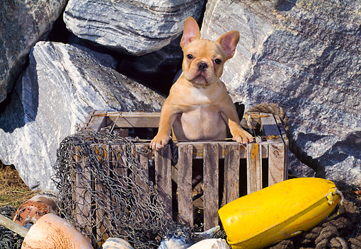 PUP 18 CE0022 01 © Kimball Stock French Bulldog Puppy Standing In Wooden Crate By Rocks