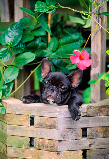 PUP 18 CE0023 01 © Kimball Stock French Bulldog Puppy Peeking Out Of Well By Pink Flower