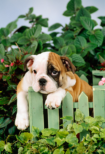 PUP 18 FA0008 01 © Kimball Stock Bulldog Puppy Laying On Green Picket Fence By Foliage
