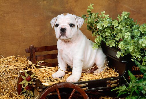 PUP 18 FA0010 01 © Kimball Stock Bulldog Puppy Sitting On Hay In Small Cart