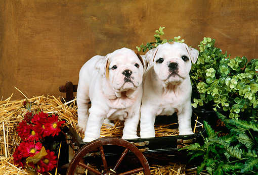 PUP 18 FA0011 01 © Kimball Stock Two Bulldog Puppies Standing On Hay In Small Cart