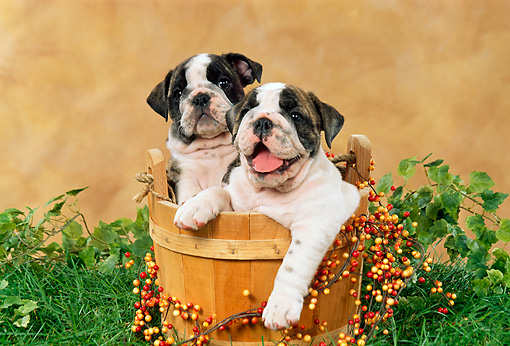 PUP 18 FA0014 01 © Kimball Stock Two Bulldog Puppies Sitting In Wooden Bucket On Grass By Ivy And Berries
