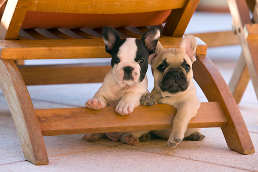 PUP 18 KH0001 01 © Kimball Stock Two French Bulldog Puppies Sitting Under Chair