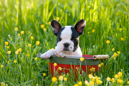 PUP 18 KH0003 01 © Kimball Stock French Bulldog Puppy Sitting In Red Bucket In Field