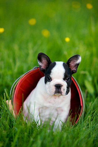 PUP 18 KH0006 01 © Kimball Stock French Bulldog Puppy Sitting Inside Red Bucket In Field