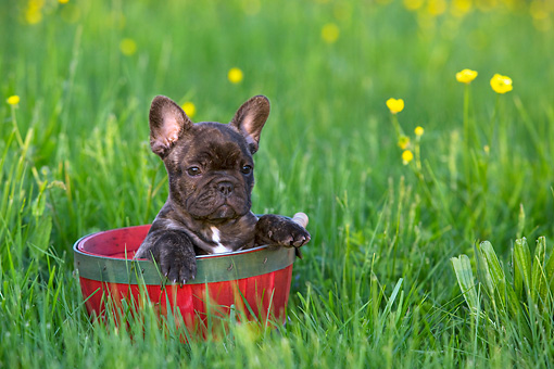 PUP 18 KH0007 01 © Kimball Stock French Bulldog Puppy Sitting In Red Bucket In Field