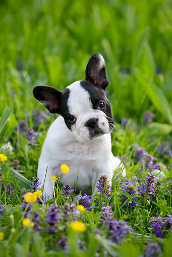 PUP 18 KH0008 01 © Kimball Stock French Bulldog Puppy Sitting In Field With Wildflowers