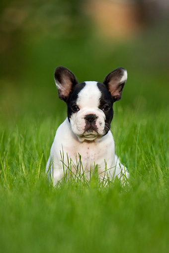 PUP 18 KH0009 01 © Kimball Stock French Bulldog Puppy Sitting In Field
