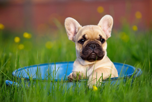 PUP 18 KH0010 01 © Kimball Stock French Bulldog Puppy Sitting In Blue Dish In Field