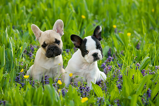 PUP 18 KH0011 01 © Kimball Stock Two French Bulldog Puppies Sitting In Field With Wildflowers