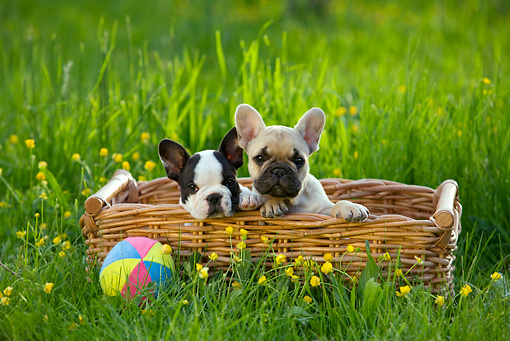 PUP 18 KH0012 01 © Kimball Stock Two French Bulldog Puppies Sitting In Basket With Ball In Field