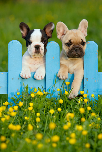 PUP 18 KH0013 01 © Kimball Stock Two French Bulldog Puppies Standing On Blue Fence In Field With Wildflowers