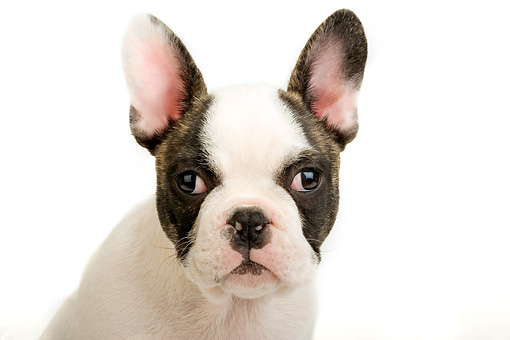 PUP 18 MR0003 01 © Kimball Stock Head Shot Of French Bulldog Puppy Sitting On White Seamless Studio