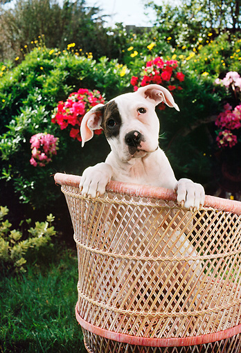 PUP 18 RC0002 01 © Kimball Stock Head Shot Of American Bulldog Puppy Peeking Over Back Of Wicker Chair