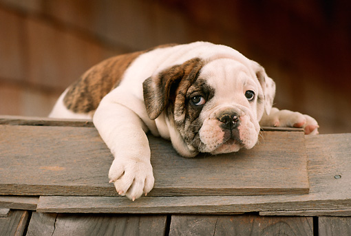 PUP 18 RC0005 01 © Kimball Stock Portrait Of English Bulldog Puppy Resting On Wood Planks By Building