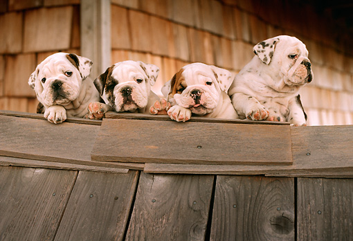 PUP 18 RC0006 01 © Kimball Stock Portrait Of Four English Bulldog Puppies Resting On Wood Planks By Building