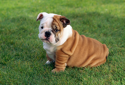 PUP 18 RC0009 01 © Kimball Stock Portrait Of English Bulldog Puppy Sitting On Grass