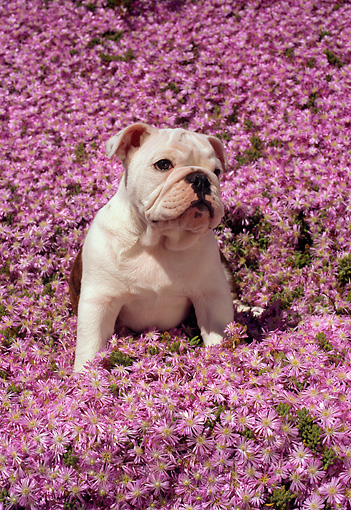 PUP 18 RC0016 01 © Kimball Stock Portrait Of English Bulldog Puppy Sitting In Field Of Pink Flowers