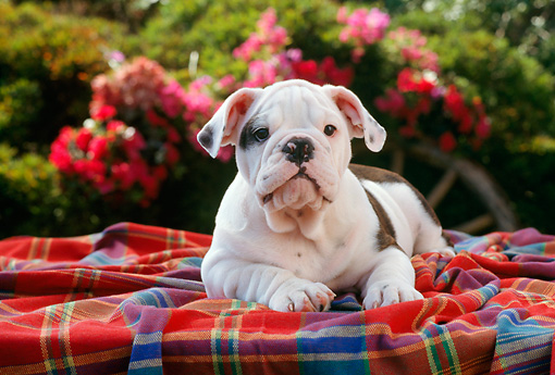PUP 18 RC0020 01 © Kimball Stock Portrait Of English Bulldog Puppy Laying On Blanket In Garden By Pink Flowers Shrubs