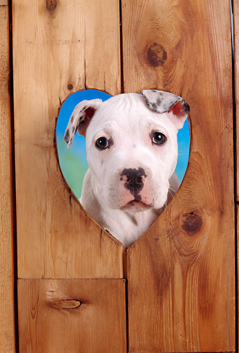 PUP 18 RC0024 01 © Kimball Stock Head Shot Of American Bulldog Puppy Peering Through Hole In Boards