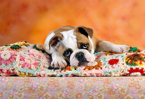 PUP 18 RC0025 01 © Kimball Stock Head Shot Of English Bulldog Puppy Laying On Floral Blanket