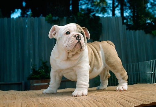 PUP 18 RC0027 01 © Kimball Stock Portrait Of English Bulldog Puppy Standing On Table Outdoors
