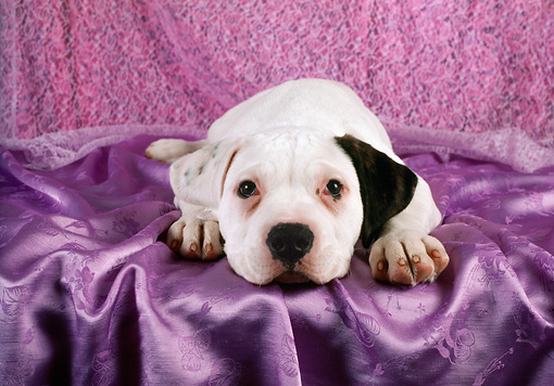 PUP 18 RC0032 01 © Kimball Stock American Bulldog Puppy Laying On Purple Satin