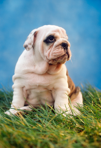 PUP 18 RC0033 01 © Kimball Stock English Bulldog Puppy Sitting On Grass