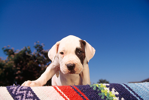 PUP 18 RK0003 05 © Kimball Stock American Bulldog Standing On Blanket Looking Down Tree Blue Sky