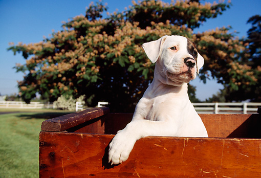 PUP 18 RK0004 15 © Kimball Stock American Bulldog Puppy Sitting In Wooden Box On Grass By Tree And Fence Blue Sky