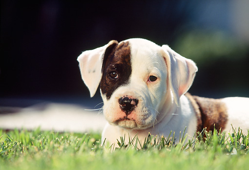 PUP 18 RK0007 02 © Kimball Stock Head Shot Of American Bulldog Puppy Laying On Grass