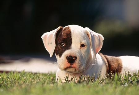 PUP 18 RK0007 06 © Kimball Stock Head Shot Of American Bulldog Puppy Laying On Grass