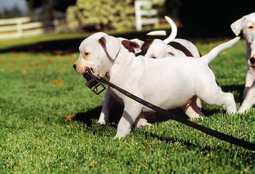 PUP 18 RK0009 03 © Kimball Stock A Group Of American Bulldog Puppies On Leashes Running On Grass