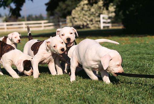 PUP 18 RK0009 05 © Kimball Stock A Group Of American Bulldog Puppies On Leashes Running On Grass