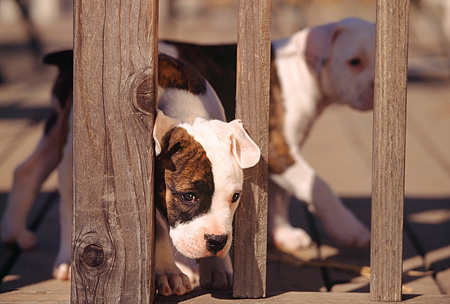 PUP 18 RK0013 02 © Kimball Stock American Bulldog Puppy Poking Head Through Wooden Fence Facing Camera