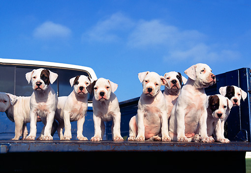 PUP 18 RK0014 56 © Kimball Stock American Bulldog Puppies Standing In Bed Of Pickup Truck