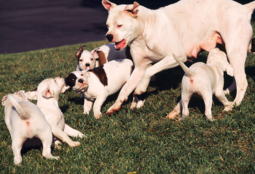PUP 18 RK0020 04 © Kimball Stock American Bulldog Mother Scolding Pups On Grass