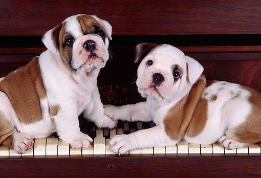 PUP 18 RK0023 01 © Kimball Stock English Bulldog Puppies Standing On Piano Keys